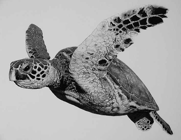 William Harrison, Hawksbill 2012, Wolff Carbon Pencil on Paper