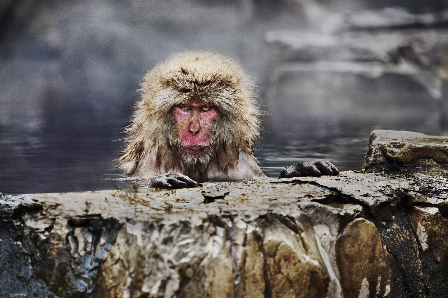 Steve McCurry ,   Snow Monkey in Jigokudani Yaen-koen Park, Japan  ,  2018     FujiFlex Crystal Archive Print ,  30 x 40 in. (76.2 x 101.6 cm)     JAPAN-10315